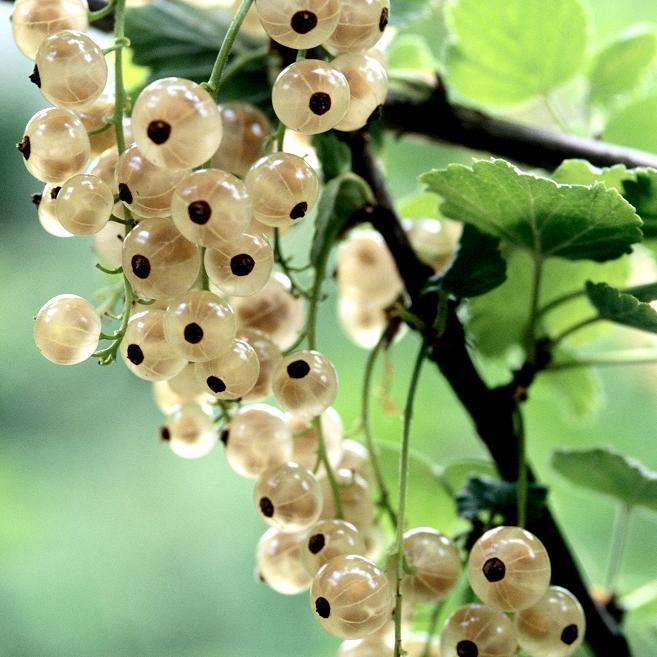Groseillier à grappes (Ribes rubrum) 'Versaillaise'
