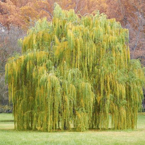 quels sont les arbres planter au printemps ooreka. Black Bedroom Furniture Sets. Home Design Ideas
