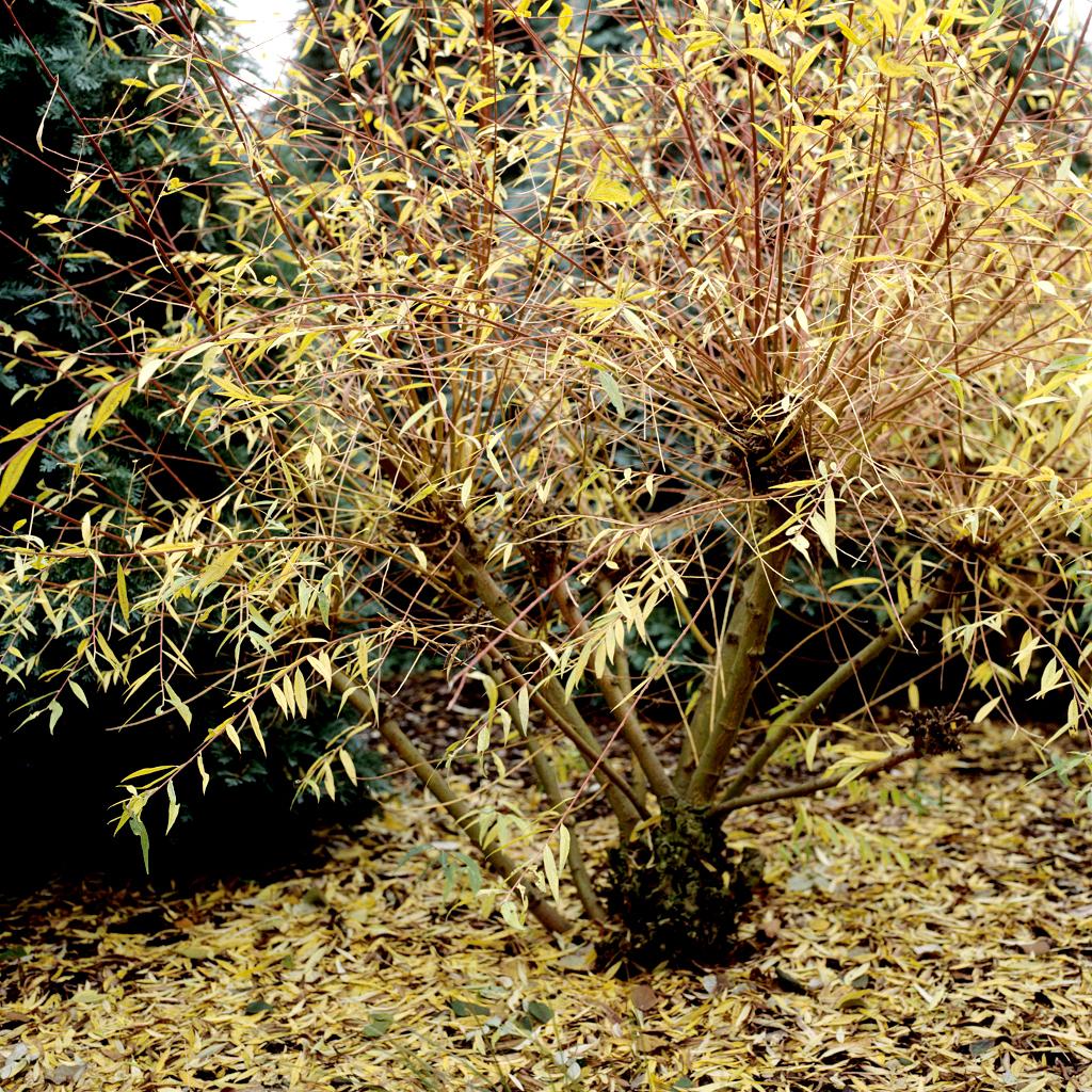 Saule planter et tailler ooreka - Variete de pommier rustique ...