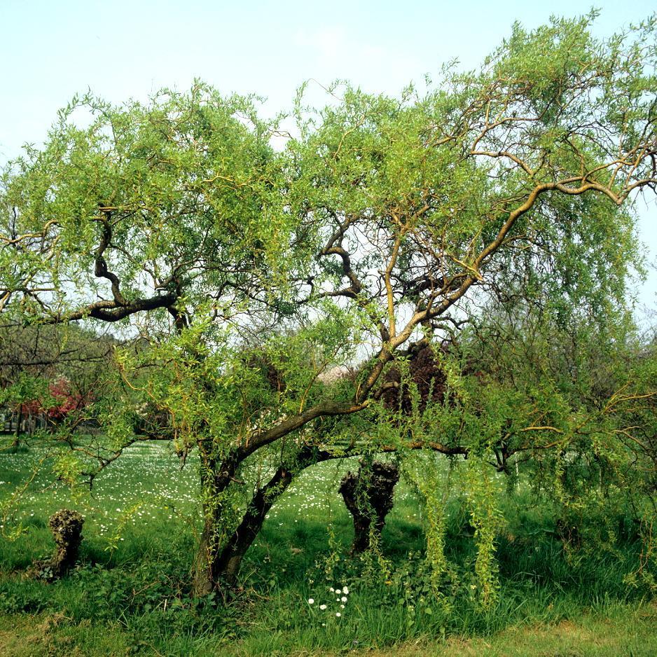 Variétés de petite taille Salix erythroflexuosa