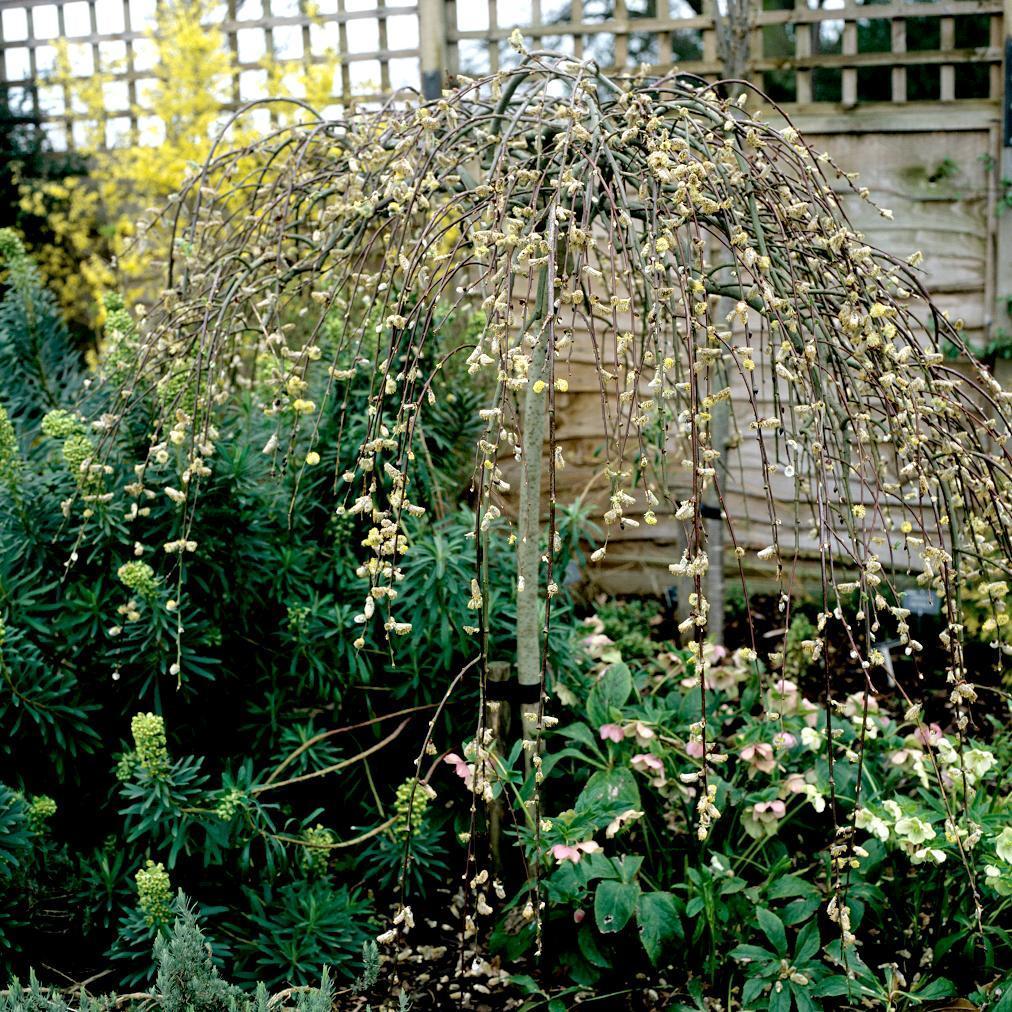 Saules pleureurs Saule Marsault pleureur (Salix caprea 'Pandula')