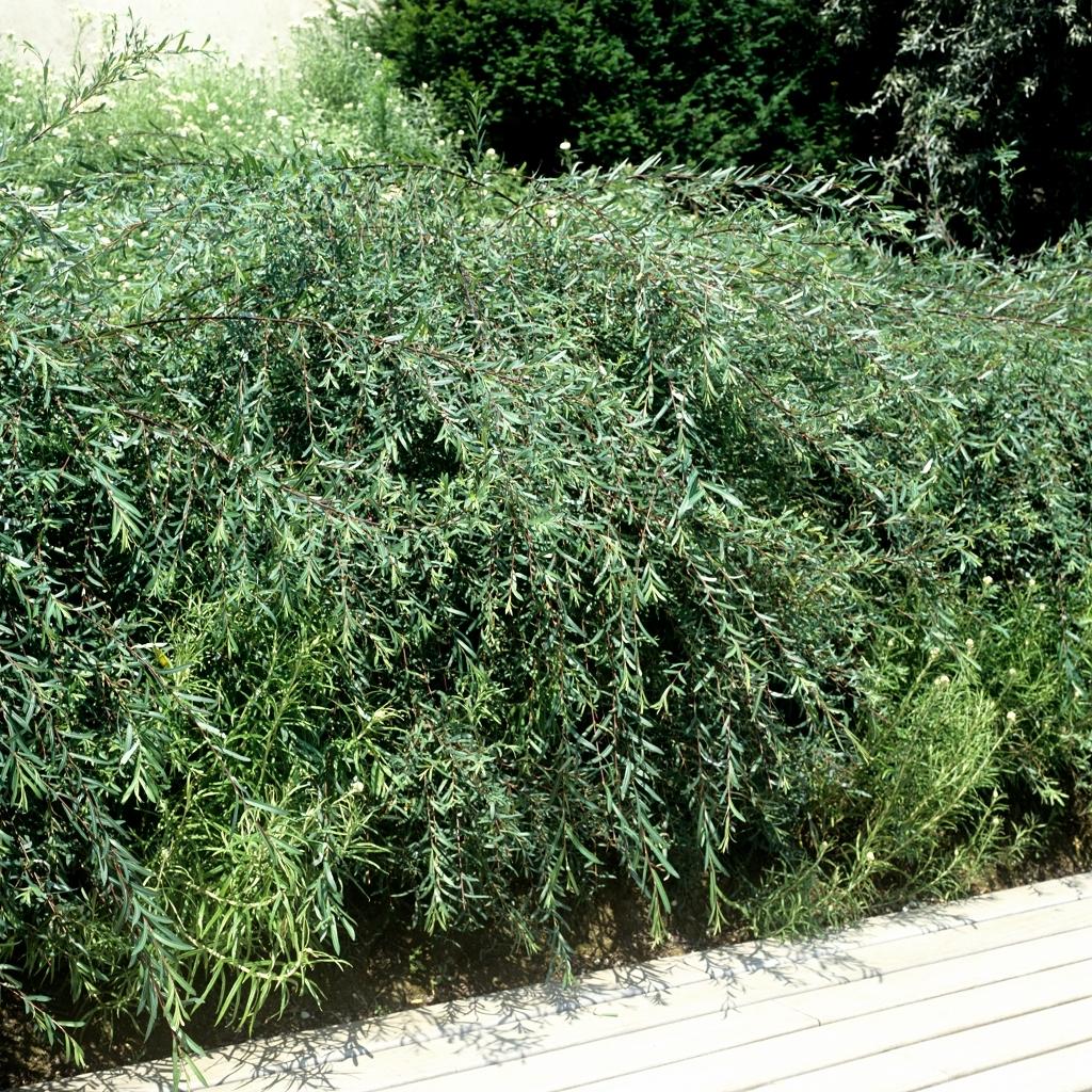 Variétés de petite taille Saule pourpre nain (Salix purpurea 'Nana')