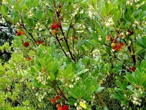 Semis et plantation de l'arbousier