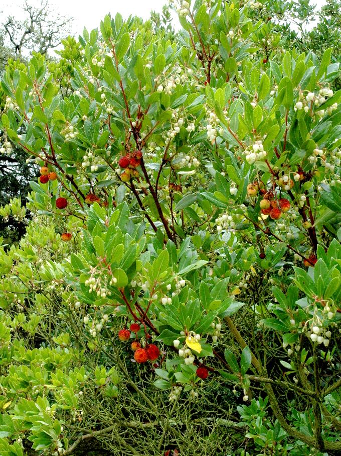 arbousier   planter et tailler  u2013 ooreka