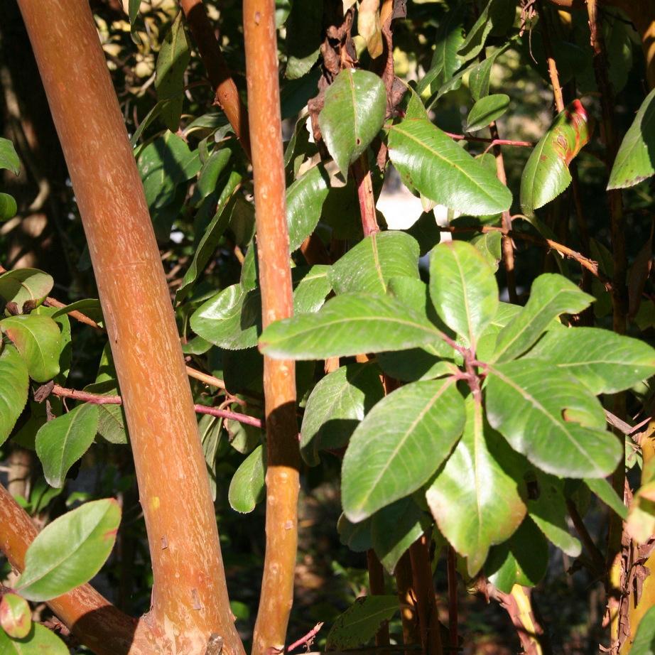 Arbutus andrachne Espèce type