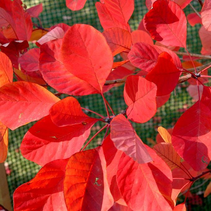 Cotinus à feuillage vert Cotinus coggygria 'Flame'