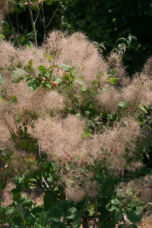 cotinus coggygria   planter et tailler  u2013 ooreka