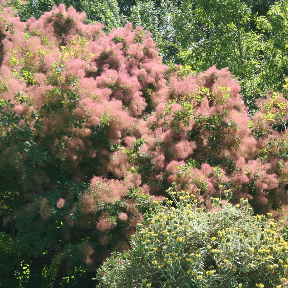 Cotinus à feuillage vert Cotinus américain (Cotinus obovatus spp)