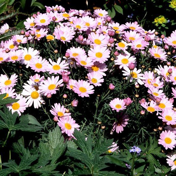 Anthemis frutescens