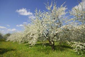 Plantation du prunier