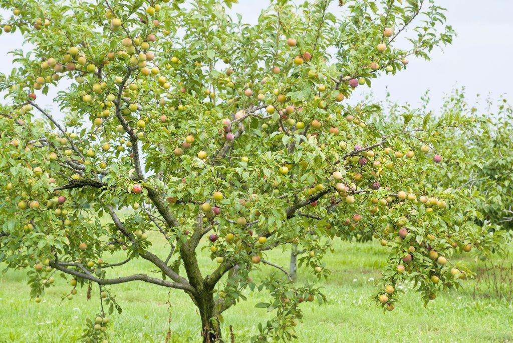 Prunier planter et tailler ooreka - Faut il tailler un citronnier ...