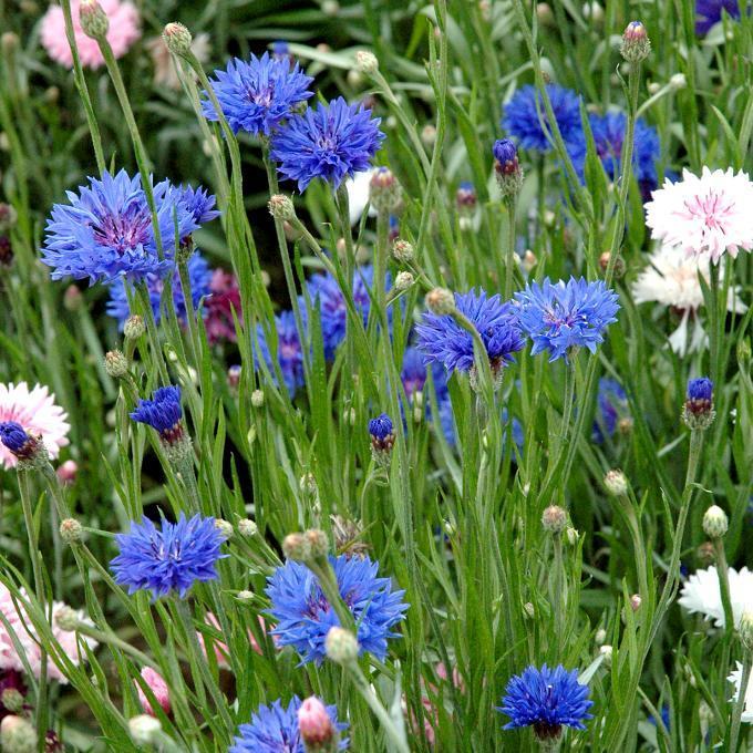 Espèces et variétés annuelles Centaurée bleuet (Centaurea cyanus)