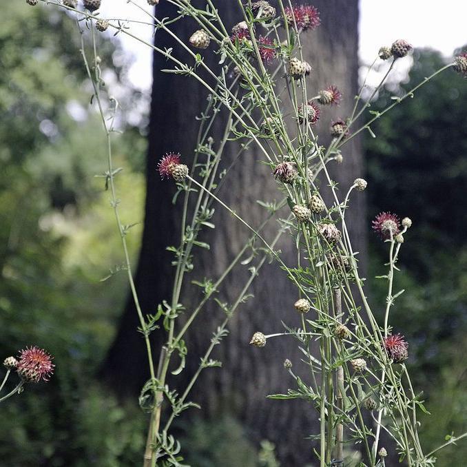 Espèces et variétés vivaces Centaurée pourpre (Centaurea atropurpurea)