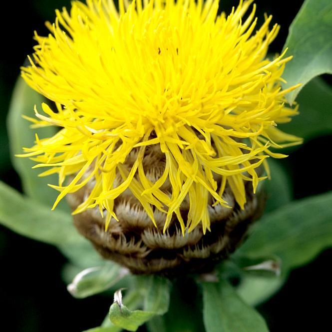 Espèces et variétés vivaces Centaurée à grosse tête (Centaurea macrocephala)