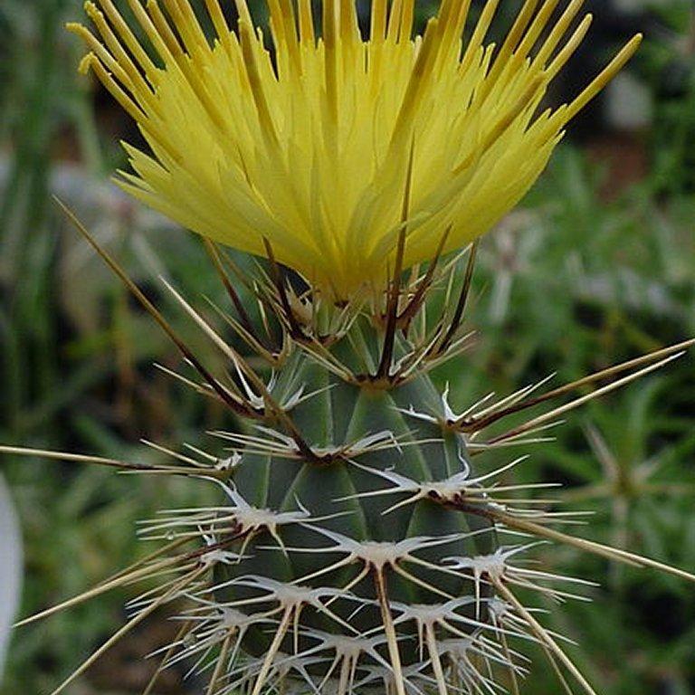 Espèces et variétés annuelles Centaurea sulphurea