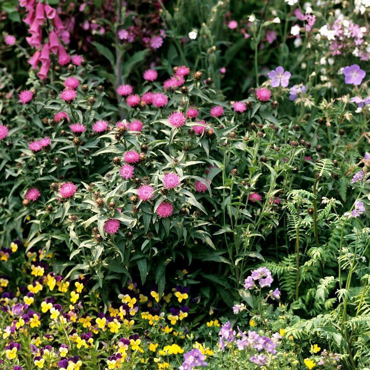 Espèces et variétés annuelles Centaurée mélange Imperialis (Centaurea moschata)