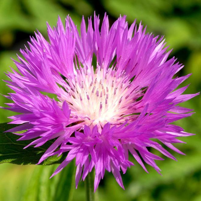 Espèces et variétés vivaces Centaurea pulcherrima