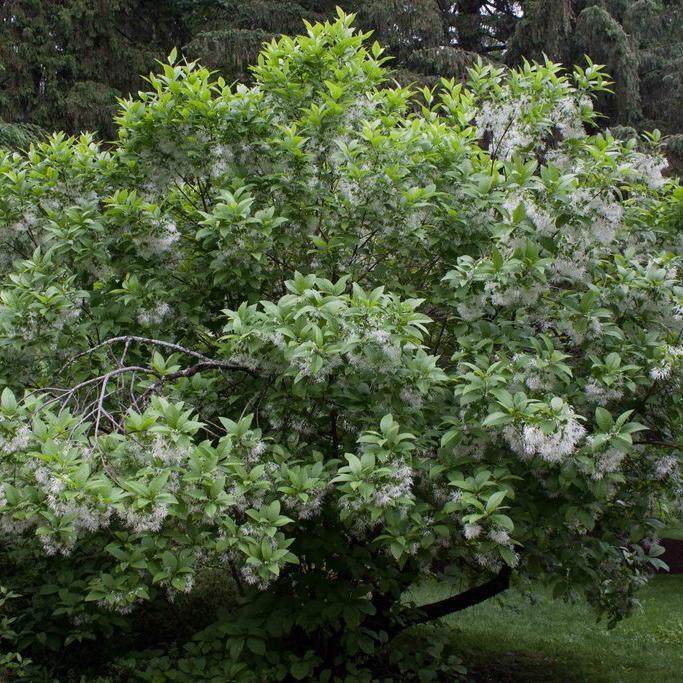 Espèce arbustive Arbre de neige (Chionanthus virginicus)
