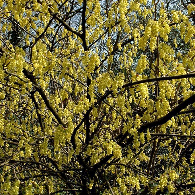Corylopsis pauciflore, noisetier du Japon, bois porte-bonheur (Corylopsis pauciflora, syn. Corylopsis matsudai) Espèce type