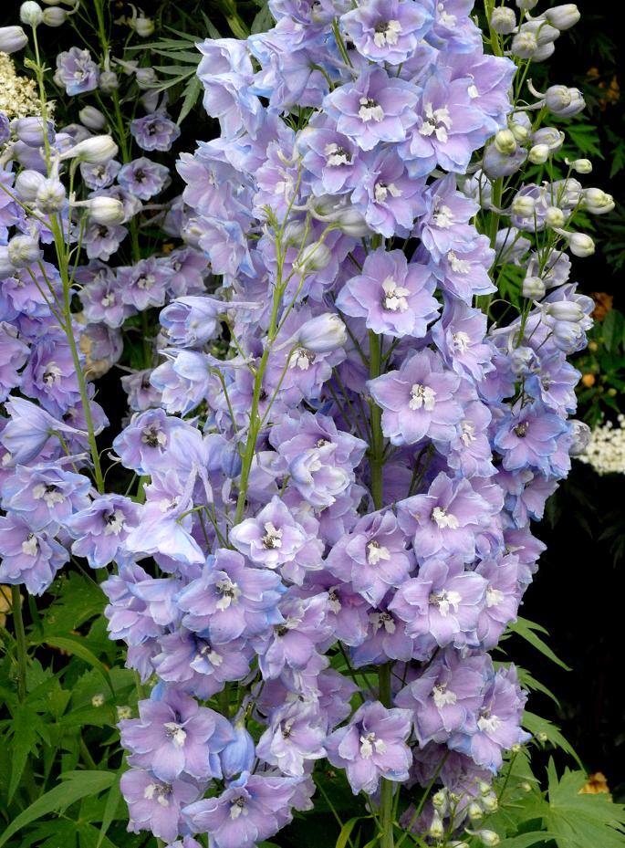 50 Graines-Vivace DELPHINIUM Fontaine magique ciel bleu-variété Dwarf