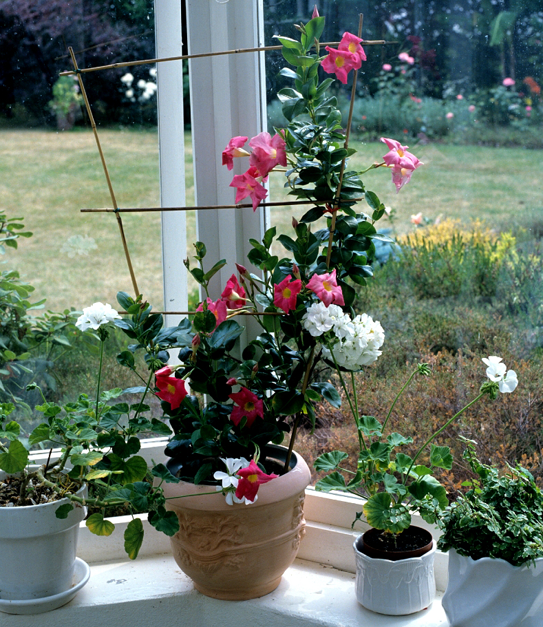 Dipladenia Planter Et Tailler Ooreka