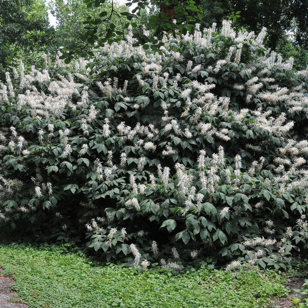 Aesculus parviflora var. serotina*
