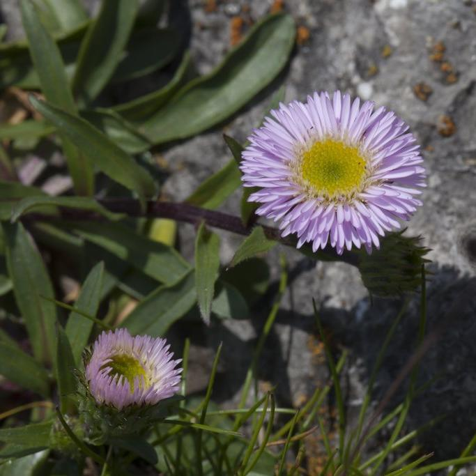 Vergerettes de petite taille Erigeron alpinus