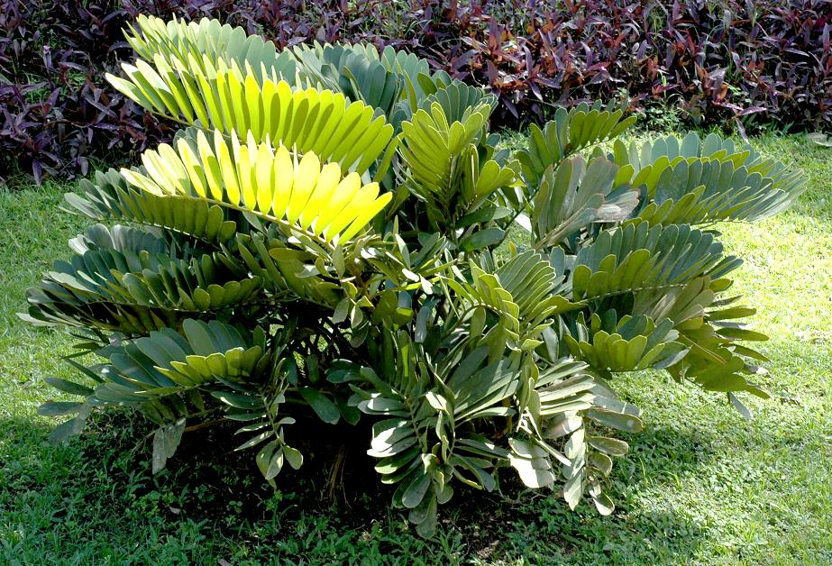 Zamia planter et cultiver ooreka for Zamia pianta