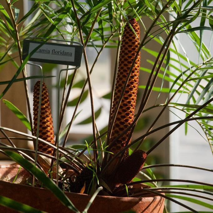 Coontie ou zamia de Floride (Zamia floridana)