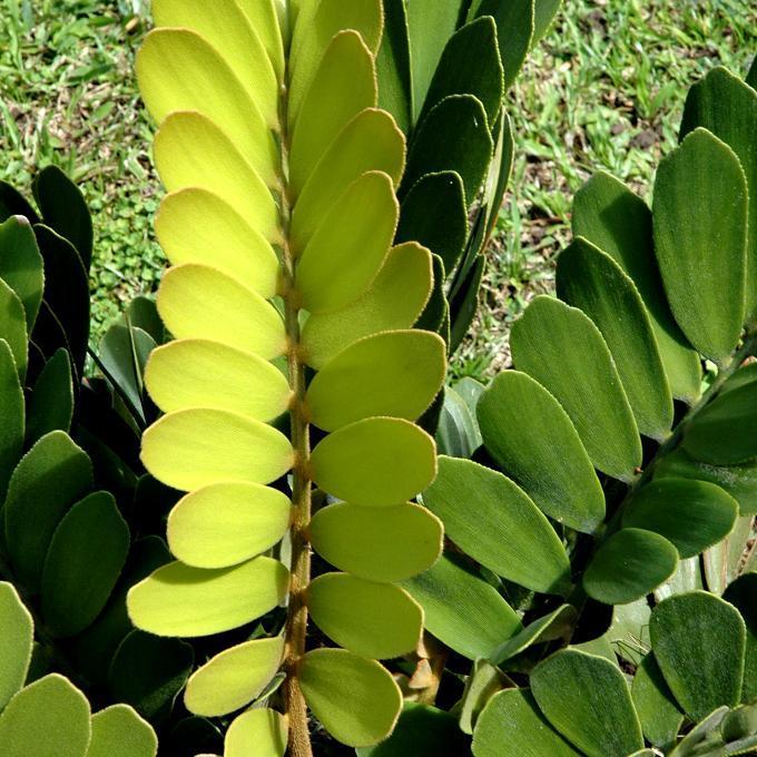 Furfuracé ou noix de pin farineuse ou écaillée (Zamia furfuracea ou maritima ou crassifolia)