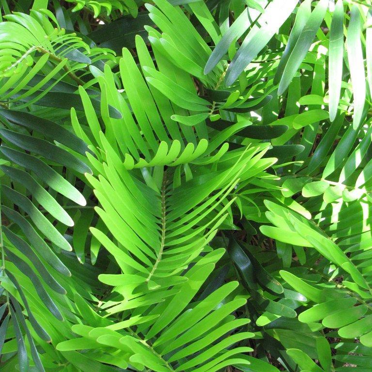 Coontie ou Sagou sauvage (Zamia integrifolia)