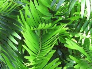 Multiplication du zamia