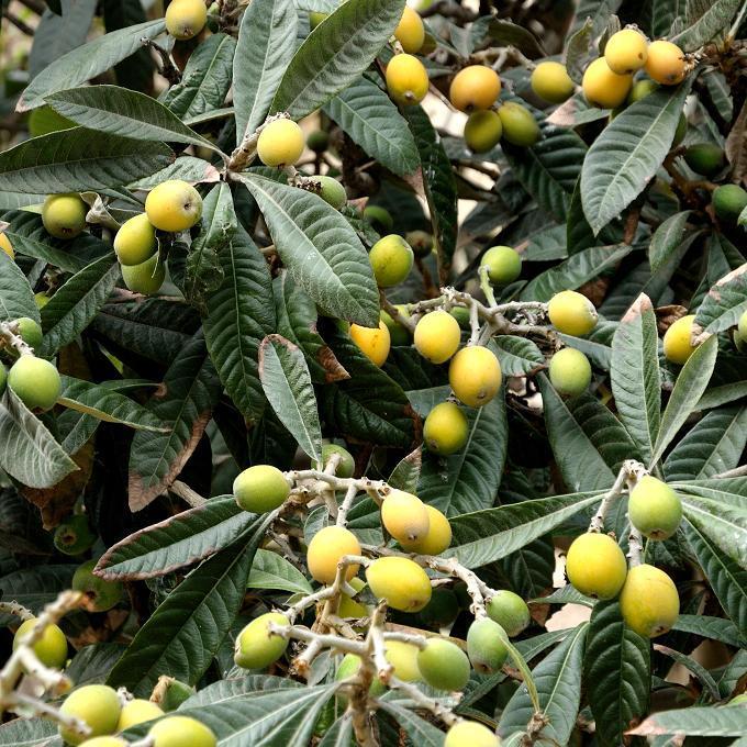 Espèce type Eriobotrya japonica