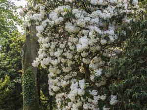 Plantation des rhododendrons