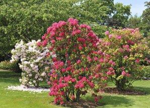 rhododendron planter et tailler comprendrechoisir. Black Bedroom Furniture Sets. Home Design Ideas