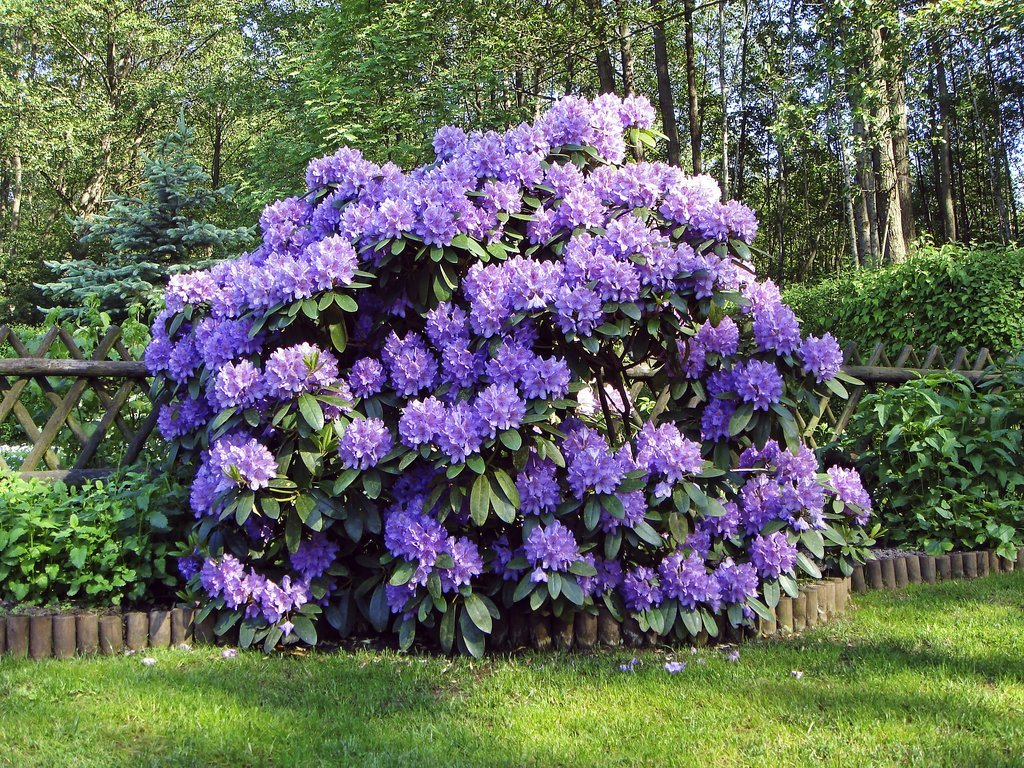 rhododendron   planter et tailler  u2013 ooreka