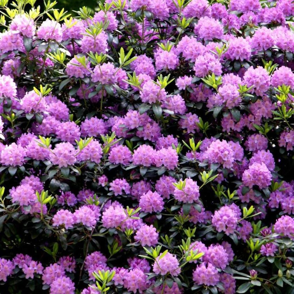 Rhododendron de grande taille Rhododendron géant (Rhododendron ponticum)