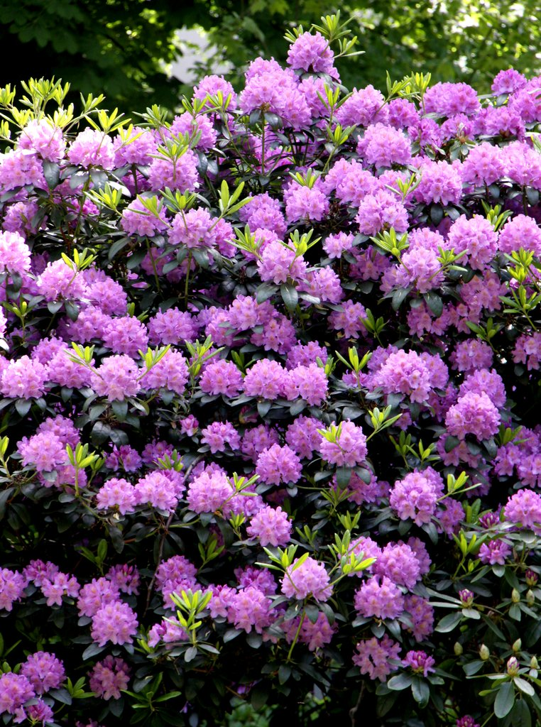 rhododendron : planter et tailler – ooreka