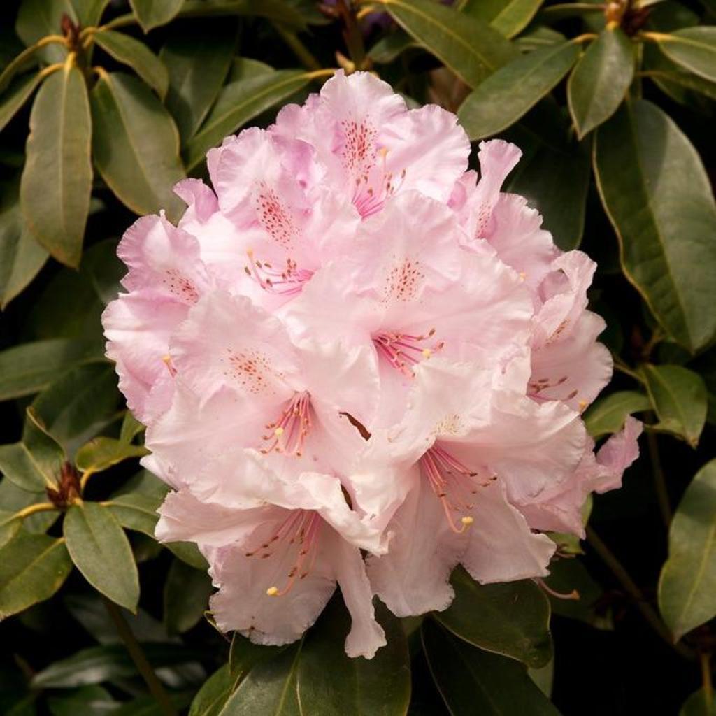 Rhododendron de grande taille Rhododendron 'Albert Schweitzer'
