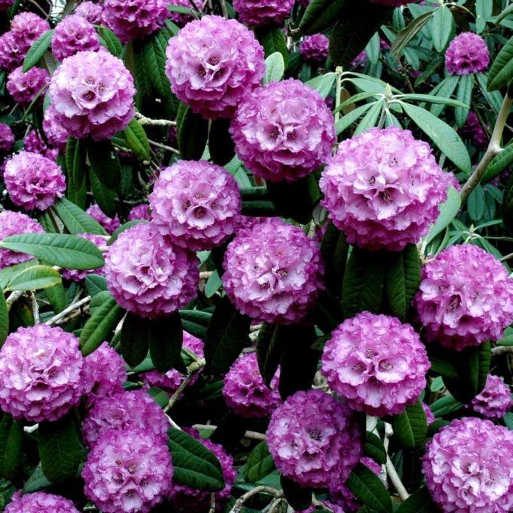 Rhododendron hybride Rhododendron 'Catawbiense Grandiflorum'
