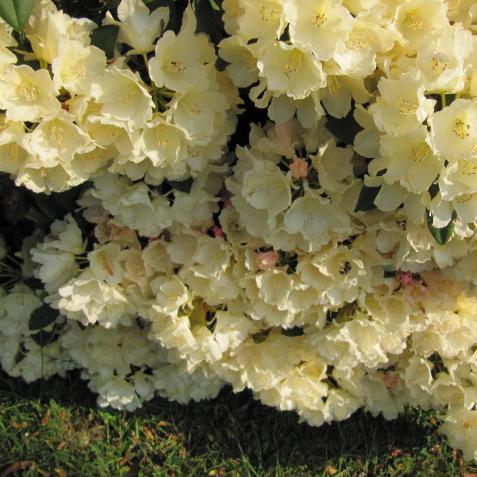 Rhododendron yakushimanum, dit aussi rhododendron yak Rhododendron yak 'Golden Torch'