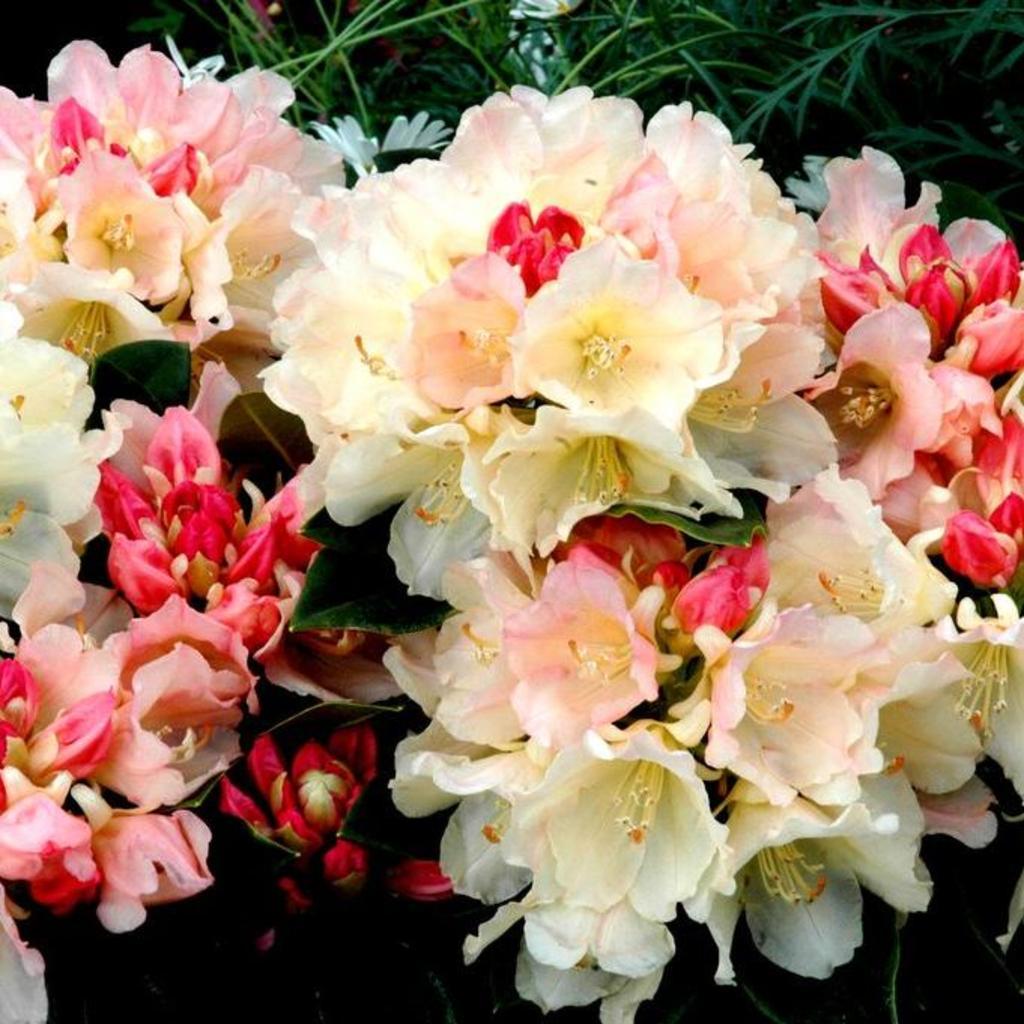 Rhododendron yakushimanum, dit aussi rhododendron yak Rhododendron yak 'Percy Wiseman'