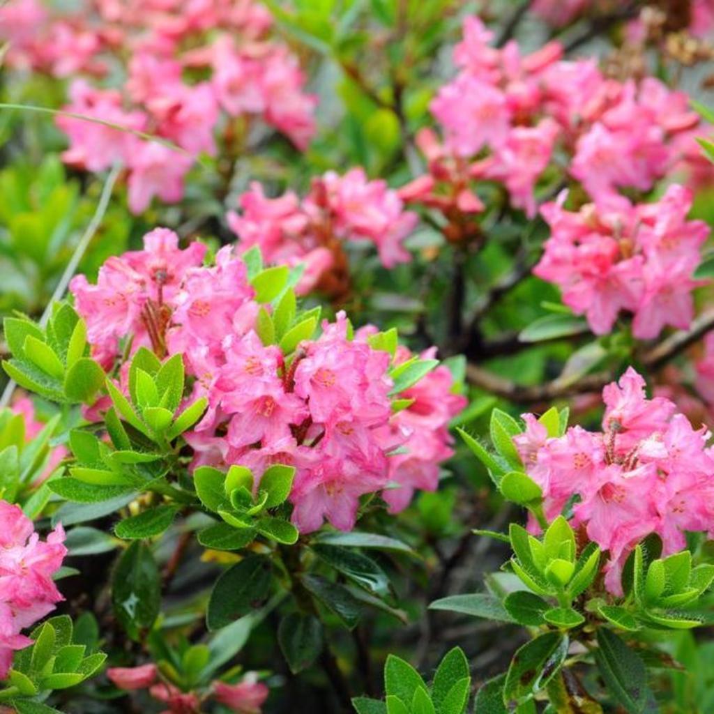 Rhododendron nain Rhododendron hirsute (Rhododendron hirsutum), dit aussi rhododendron cilié ou poilu