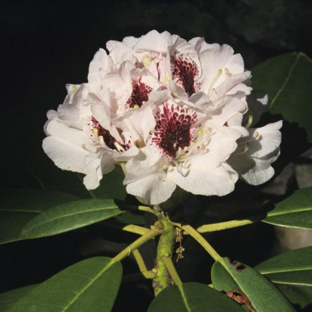 Rhododendron hybride Rhododendron 'Sappho'