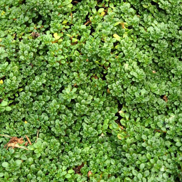 Thym précoce (Thymus praecox)