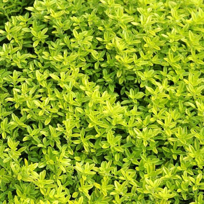 Thym citron (Thymus x citriodorus)