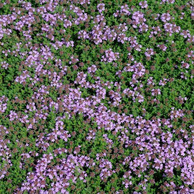 Thym laineux (Thymus pseudolanuginosus)