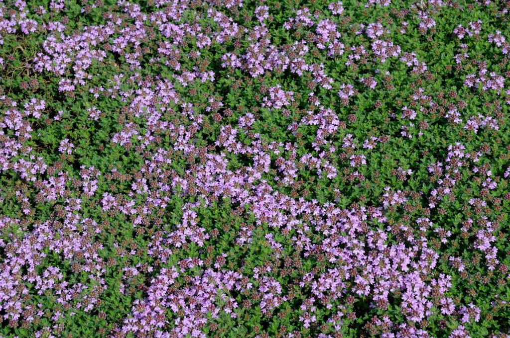 Thym planter et tailler ooreka - Lierre rampant couvre sol ...