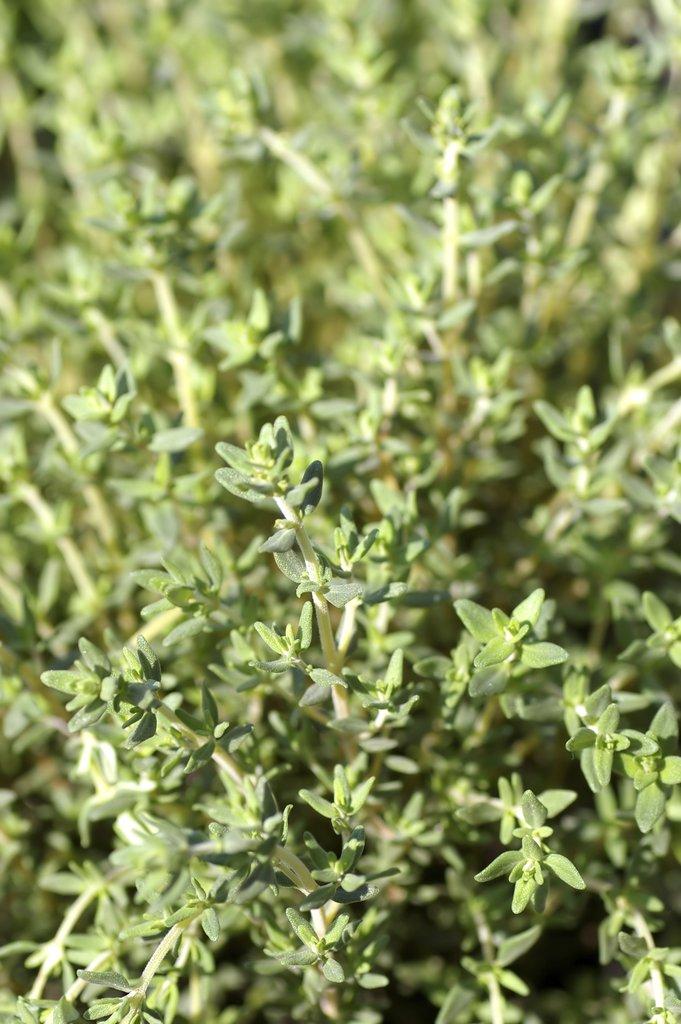 Thym planter et tailler ooreka for Plante zaatar