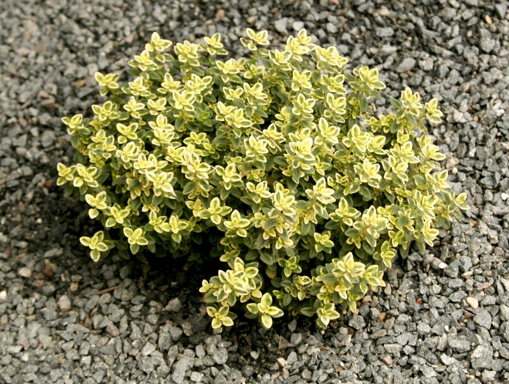 thym planter et tailler ooreka With modeles de rocailles jardin 8 thym planter et tailler ooreka